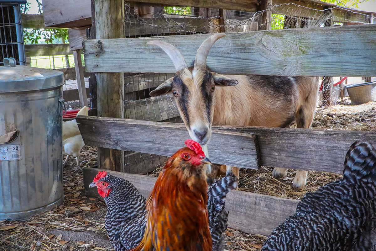 Farm goat with chickens