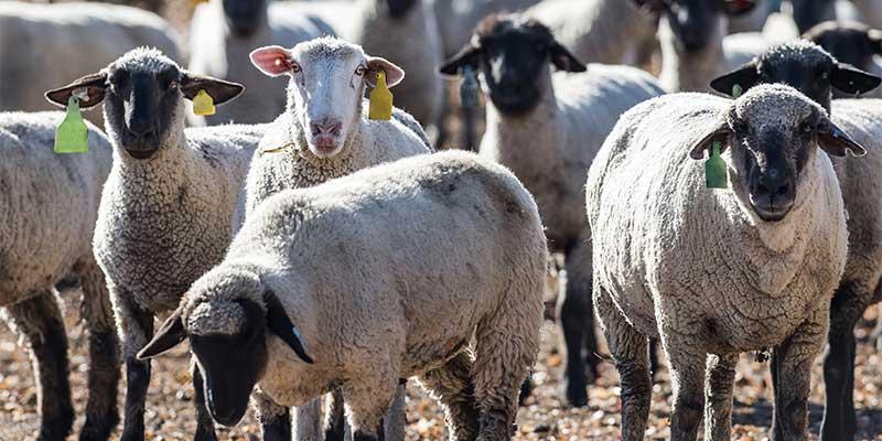 Animal and Livestock Identification Tags   Ketchum
